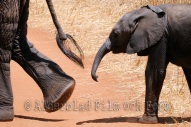 DSC_9871(liten elefant följer mamma)